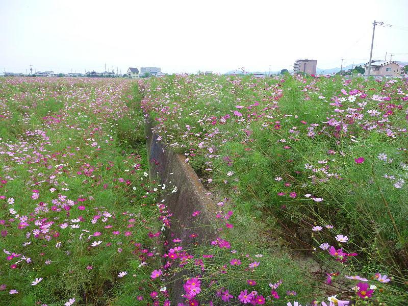 秋景・コスモス畑